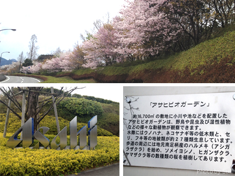桜の坂道〜アサヒビール神奈川工場